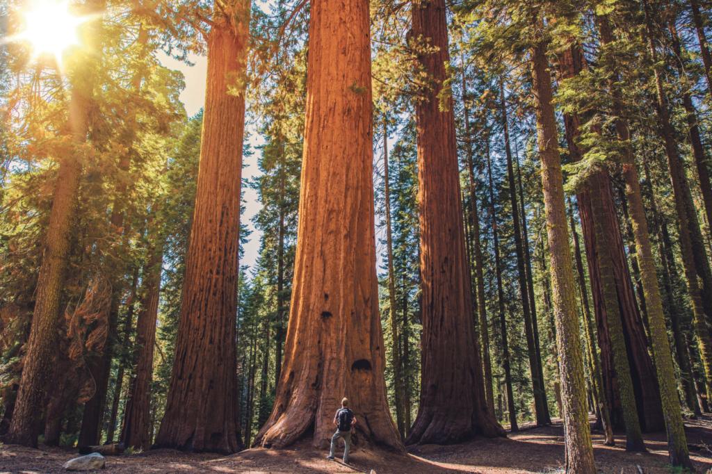 Gigantiska träd i Sequoia nationalpark